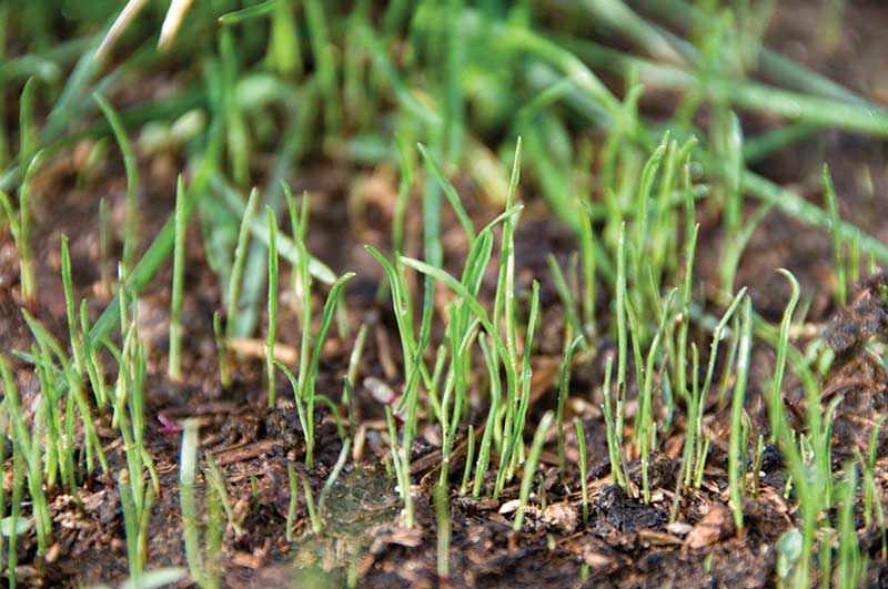 sprouting-grass-seeds