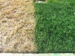 dormant-grass